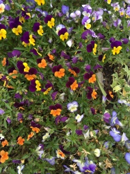 More Pansies in the park
