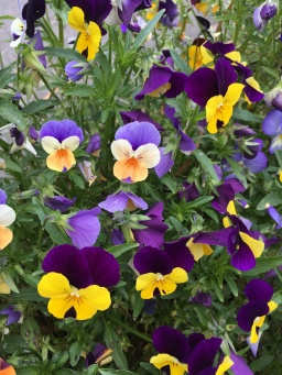 Pansies in the park