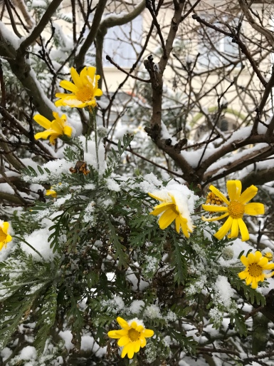 Guernsey snow 2018 - Freezing flowers