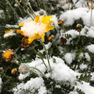 Guernsey snow 2018 - poor flower